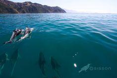 Dolphin Pod - Kaikoura Coast by Todd & Sarah Sisson