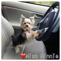 Misa Minnie world's smartest dog. Driving!