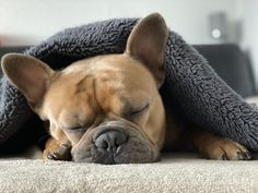 Snuggle Dog Kuscheldecke - Free photo on Pixabay Bulldog Puppies For Sale, French Bulldog Puppies, Best Dog Breeds, Best Dogs, Snuggle Dog, Soft Corals, Sleeping Dogs, Cocker Spaniel, Snuggles
