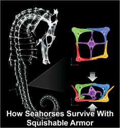 Crabs, birds, and manta rays regularly try to crush sea horses for dinner, but a sea horse has some unusual protective armor. Its tail can be compressed to half its normal size without lasting damage, researchers at the University of California, San Diego, recently found. The tail's resilience comes from its structure: approximately 36 square segments, each made of four bony plates.