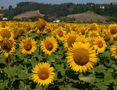 Image Detail for - Sunflower at Tuscany ,Italy
