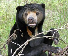 more sun bear