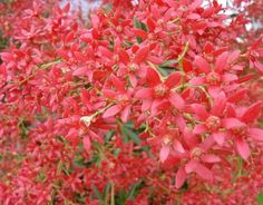 While people in the northern hemisphere are decorating fir trees and decking their halls with boughs of holly, here in Australia we have the bright and beautiful Christmas Bush, Ceratopetalum gummiferum. Australian Native Garden, Australian Native Flowers, Australian Plants, Australian Houses, Australian Wildflowers, Aussie Christmas, Australian Christmas, Christmas Holidays, Christmas Plants
