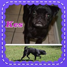 Kes is my name. I am new to K-9 Angels as I was just rescued last week. My foster will update my bio soon with more info on me, but right now I am sure that she would say that I am a sweet girl. I am a bit shy with the dogs, but I think that will get better once I have a few more days with them.Kes is a Pug (maybe Boston Terrier) mix. We will update her age and weight estimates soon.