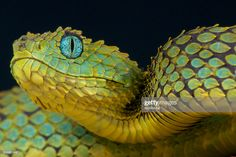 The Naga: Snake Guardians of Ancient India Beautiful Snakes, Animals Beautiful, African Bush Viper, Snake Facts, Reptile Eye, Snake Photos, Cool Snakes, Aquarell Tattoo, Cobra Snake