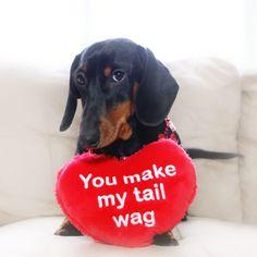 You make my tail wag dachshund, doxie #Dachshund