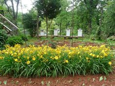 Beekeeper's Daughter: Some of our Bee Hives Amongst Stella d'Oro Daylilies