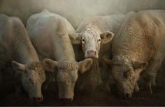 FARMHOUSE – ANIMALS – rumsden charolais are farm cows.