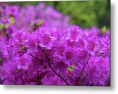 Rhododendron Purple Triumph Metal Print by Jenny Rainbow. All metal prints are professionally printed, packaged, and shipped within 3 - 4 business days and delivered ready-to-hang on your wall. Choose from multiple sizes and mounting options. Fine Art Prints, Framed Prints, Beautiful Flowers Garden, Got Print, Any Images, Botanical Gardens, Spring Flowers, Fine Art Photography, Netherlands