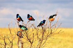 Tanzania, Ngorongoro Crater African Glossy Starlings