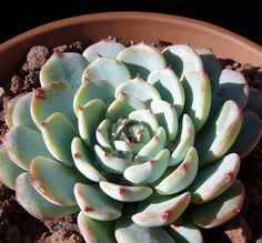 Echeveria chihuahuaensis -  Small colorful species Grey rosette to 4″, red tips. Rarely offsets, will propagate from leaf cuttings Cactus Jungle