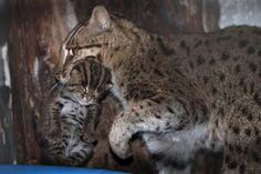 Smithsonian National Zoo's Fishing Cat Gives Birth to Twins