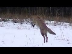 Coyote Hunting for Food, Banff National Park (Canis latrans)