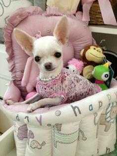 Pretty Chihuahua