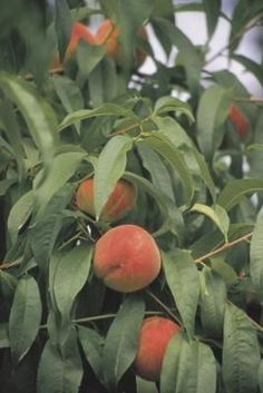 How To Organically Care For Peach Tree Insects