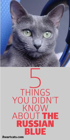 5 Things You Didn't Know About The Russian Blue