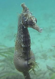 They Film A Pregnant Male Seahorse, Now Keep Your Eye On His Belly… (VIDEO)