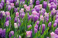 Spring Combination Ideas, Bulb Combinations, Plant Combinations, Flowerbeds Ideas, Spring Borders, Tulip Dynasty, Hyacinth Miss Saigon, Tulipa Dynasty, Hyacinthus Orientalis, Purple Hyacinth, Tulipe Dynasty, Jacinthe Miss Saigon
