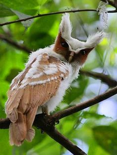 Crested Owl [I love his colours, face and tufted ears! Of all the coloured birds in the world, the owl is still my favourite. They have so many expressions and appear so worldly wise. Beautiful Owl, Animals Beautiful, Cute Animals, Wild Animals, Unusual Animals, Baby Animals, Amazing Animals, Beautiful Pictures, Amazing Photos
