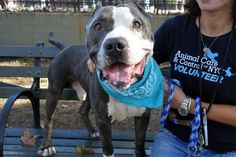 Manhattan Center BRAD – A1090758  MALE, BLACK / WHITE, PIT BULL MIX, 4 yrs STRAY – STRAY WAIT, NO HOLD Reason STRAY Intake condition UNSPECIFIE Intake Date 09/21/2016, From NY 11432, DueOut Date09/24/2016