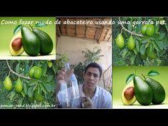 Como germinar caroço de abacate na garrafa pet.