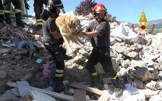 Um golden retriever chamado Romeo é o último sobrevivente do terremoto de 24 de…