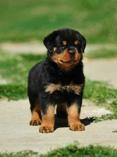 This Rottweiler is so adorable! Such a fierce little puppy