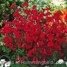 Hummingbird Garden Catalog: Red Penstemon Sun Plants, Garden Plants, House Plants, Plants Indoor, Hanging Plants, Tall Plants, Tomato Plants, Flowering Plants, Fruit Garden