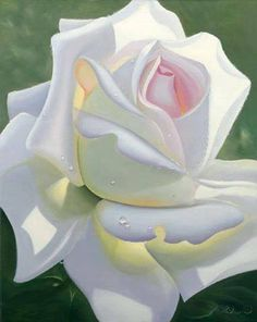 white lovely rose