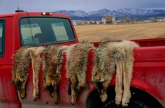 A new study found that there's little evidence that lethal predator control does… - Pelts from four gray wolves shot by United States federal officials in Montana hang over a truck. A new study weakens the theory that killing predators can help protect livestock.  PHOTOGRAPH BY JOEL SARTORE, NATIONAL GEOGRAPHIC CREATIVE