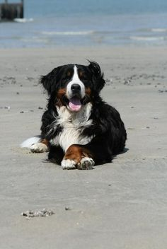 Berner sennen - Bernese Mountaindog