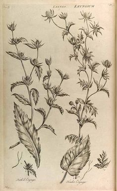 165274 Eryngium alpinum L. [as tender eryngo]  / Hill, John, The vegetable system, A history of the aggregates, or cluster-headed plants, vol. 5: t. 52 (1772) [J. Hill]
