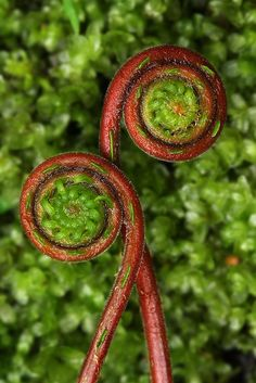 Red fern fronds in the rainforest of British Columbia, Canada. 2008