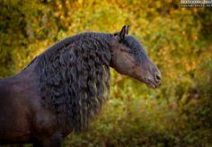 Photographs of Friesian horses by Ekaterina Druz Equine Photography