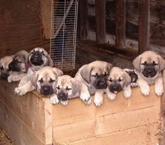 Mastador - Mastiff/Labrador mix!  Look at the one on the left, holding his head up...he's totally calling my name!!