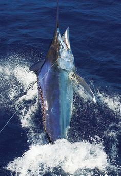 The Gulf of Chiriquí Offers Up a World-Class Fishery Serviced by Customized Charter Lodges  Panama offers shots at four different billfish...