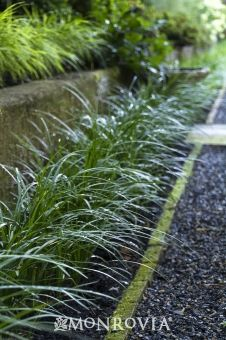 Lily Turf (Liriope muscari) - Monrovia for front yard edging driveway maybe Leafy Plants, Pond Plants, Landscaping Plants, Outdoor Plants, Landscaping Ideas, Outdoor Spaces, Liriope Muscari, Evergreen Groundcover, Groundcover For Shade