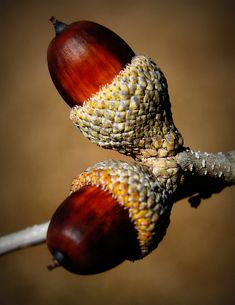Acorns - the beauty of nature