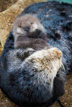 Wild sea otter pup born in Monterey Bay Aquarium's Great Tide Pool.
