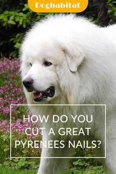 Dog Nail Clippers, Ingrown Nail, Great Pyrenees Dog, Choosing A Dog, Dog Nails, Dog Care, Labs, Ladybug, Sofa