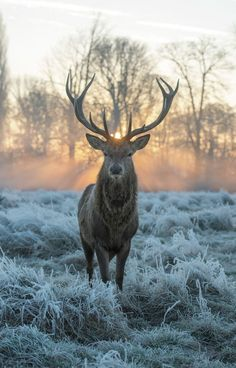 Golden shot by Max Ellis, Art Prints for sale. Deer stag in the morning, beautiful landscape. Contemporary Art by Max Ellis printed on C-Type Matt. Deer Photos, Deer Pictures, Nature Pictures, Animal Pictures, Beautiful Pictures, Nature Animals, Animals And Pets, Cute Animals, Amazing Animals