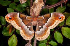 Promethea moth (Callosamia promethea), Tennessee  © Jim  Zuckerman