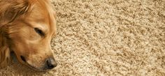 How To Remove Pet's Urine From Carpet
