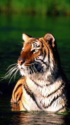 Large Animals, Animals And Pets, Panthera Tigris Altaica, Big Cats, Cats And Kittens, Tiger Photography, Tiger Love, Cat Species, Cute Tigers