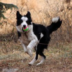 For more information on Sky please visit her website at: Sky's Page;Please read BCRMN's adoption policies prior to inquiring about a dog. They can be found at:BCRMN's Adoption Policies PageSky came into rescue when she was pulled from a shelter, so...