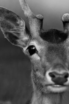 Saved by Dave McCall Discover more of the best Photography, Black, White, Deer, and Animal inspiration on Designspiration Beautiful Creatures, Animals Beautiful, Cute Animals, Beautiful Images, Wildlife Photography, Animal Photography, Photography Ideas, Hunting Photography, Black Photography