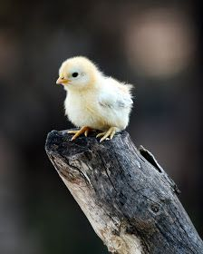 Little Peep by PatriciaVazquez on DeviantArt Baby Chickens, Chickens And Roosters, Cute Baby Animals, Farm Animals, Beautiful Birds, Animals Beautiful, Chicken Chick, Hobby Farms, Cute Birds
