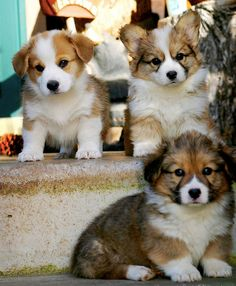 corgi puppies- love how these guys are more colorful than the more common corgi