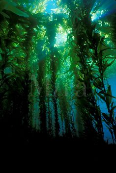 Diving in the kelp Forest off of Catalina Island Giant kelp, Macrocystis pyrifera, California, Pacific Ocean