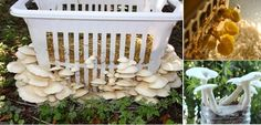 Garden Design Inspiration : Learn How to Grow Mushrooms – All Thing You Need to Know Mushrooms are among the most delicious foods and they are also very Grow Your Own Mushrooms, Mushroom Grow Kit, Growing Mushrooms, Edible Mushrooms, Stuffed Mushrooms, Garden Mushrooms, Mushroom Spores, Organic Protein, Grow Bags